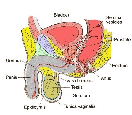 Male Reproductive Organ